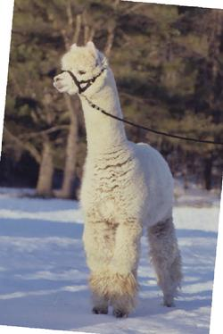 Alpacas for sale - award winning Augusto grandson.